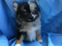 Adorable toy pomeranians ready for their forever homes!