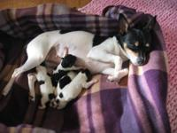 Beautiful Toy Rat Terrier Puppies. Born November 10,