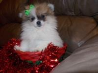 Female tri colored cutie pie, DOB 9-23-14. She is UTD