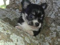 Adorable Long Hair Female Chihuahua Registered Ckc.
