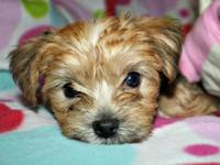 2 left, 1 male and 1 female charming teacup size morkie