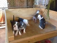 Beautiful UKC blue pit bulls 2 boys and 2 girls. Sire