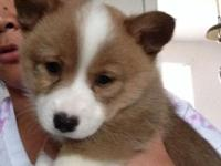 One male fawn UKC Registerable pembroke welsh corgi.