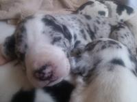 Beautiful litter of AKC Great Dane Pups. Born December