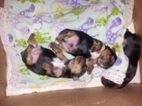 APRI Registered Yorkshire Terrier young puppies. One