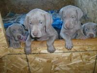 I have adorable registrable silver/grey Weimaraner