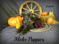 We have gorgeous mini aussies for sale. We have 4 blue