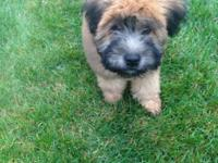 Wheaten Terrier Male puppies! 14 weeks old! All shots &