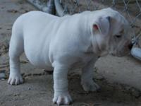 We are so happy with our litter of American Bully