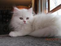 I have an adorable white female Persian kitten that is
