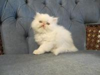 Cute and spirited white Persian kittycat. Born 4/11/14.