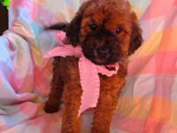 We have 4 lovely Whoodle puppy women available for