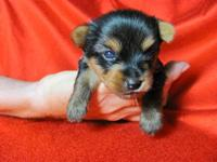Beautiful, sweet, teacup yorkie puppy. This precious