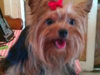 Sweet tiny Yorkshire terrier male.He is black and tan