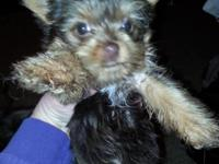 I have 2 female Yorkie's. One chocolate, one blk/tan.