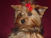We have a lovable yorkie boy that will await his new