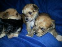 We just had some sweet Yorkie Chon's born on 12/15/12.