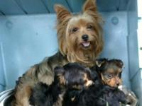 Yorkie puppy, he is an adorable male, he is my pick of