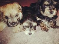 Three 4 week old Morkies. 2 males & 1 female. Taking