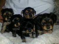 Adorable Yorkie mix puppies looking for loving new