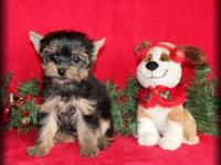 This little Morkie woman is an adorable, healthy 3/4