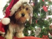 Cute female yorkie poo available and ready to go to her