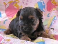Rosie is a beautiful little Yorki-Poo (Yorkie/Poodle