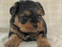 Rudy is a gorgeous little Yorki-poo (Yorkie/Poodle