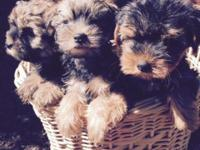 Precious intelligent 9 week old Yorkie-Poo puppies