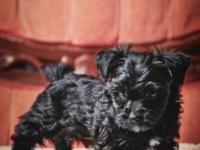I have two darling little Yorkshire Terrier poodle mix