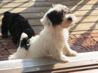 Hello! We have two CKC yorkie-poo puppies for sale.