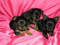 8 weeks aged. 3 ladies and 2 males offered. The one