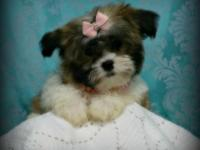 Come see our beautiful litter of Yorkie Poo puppies,