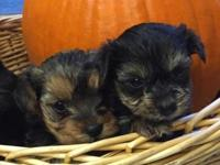 Sweet little Yorkie-poo pups ready to go to their