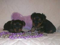 I have two really nice Yorkie Poo puppies that are