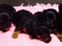 Yorkie-Poo puppies born on October 15. These puppies