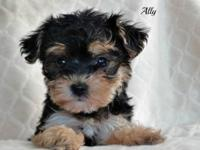 Adorable little yorkie Poo's. Puppies are raised in