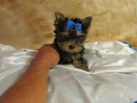 Just in time for Christmas. 5 little Yorkie Poo's