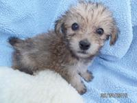 Sweet young Yorkie-poo's. Very friendly, outgoing, and