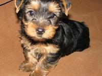 This lovable Yorkie is ready for his for life home. He