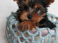2 Yorkie Puppies Available... Ready to Go to their New