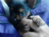 adorable Yorkie puppies for sale they are full blooded