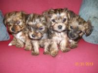 Yorkie/Shih-tzu puppies. Born 12/12/12 and ready for