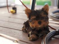 9 weeks old, yorkies, ready for their new homes. Docked