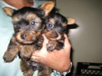 ADORABLE YORKIE PUPPIES, THEY HAVE BEEN DEWORMED, PUPPY