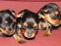Beautiful little ones,heavy coated black/gold AKC reg.