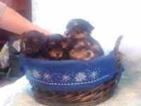 Two Litters of purebred Yorkies ready for homes in JUNE