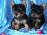 Litter of really cute little Yorkies. They are 9 weeks