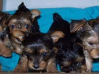 I have 5 CKC Yorkie puppies up for adoption. Three