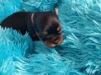 now taking deposits on Adorable and tiny ckc reg yorkie